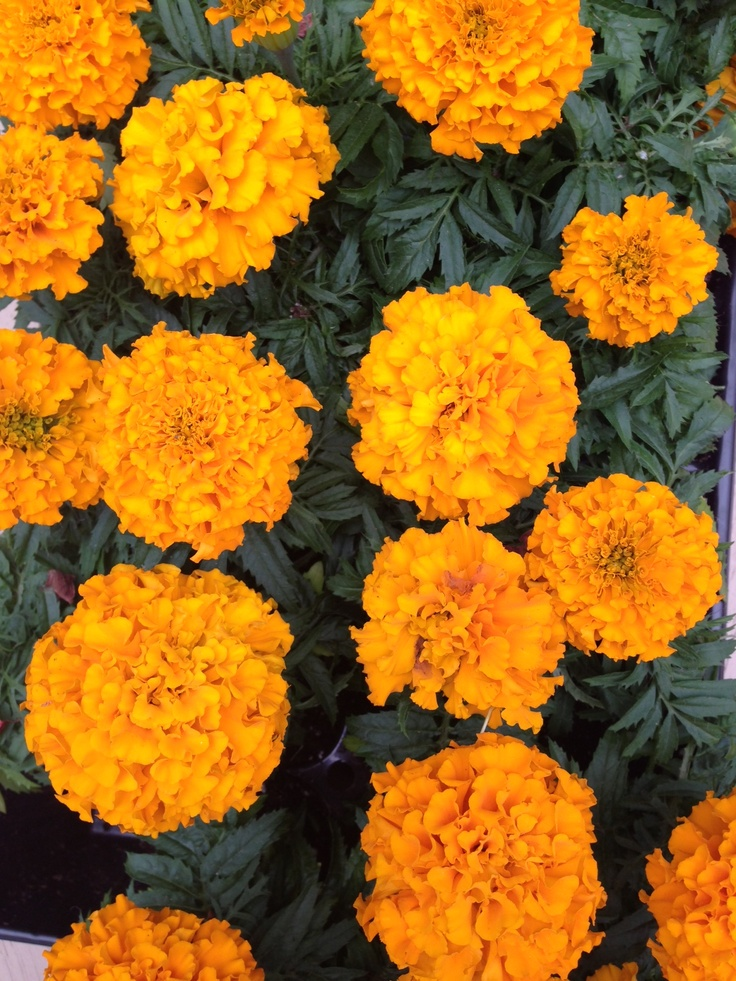 The Marigold Tarot Major Arcana The: Marigold- Flower Of The Month October