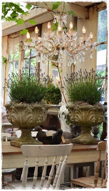 Lavender in urns
