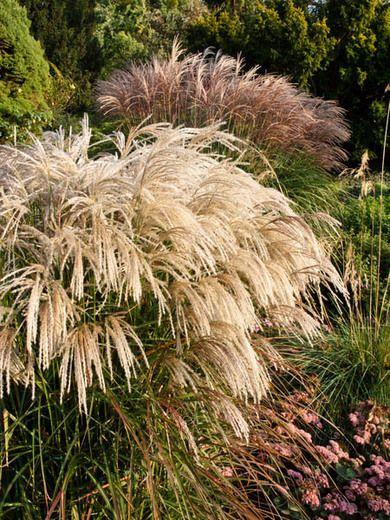 Miscanthus sinensis 39 kaskade 39 maiden grass 39 kaskade for Ornamental grasses for ponds