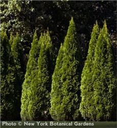 Emerald Arborvitae - $5.49 - Great for use in hedges or screens with its shimmering emerald green foliage and attractively narrow pyramidal form. #gardening #landscaping