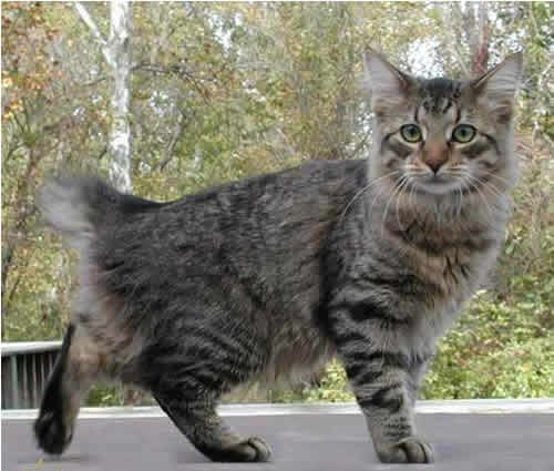 American Bobtail:   The American Bobtail is a medium to large sized cat that is native to North America. This short-tailed cat is well-muscled and solid, but is graceful and athletic.