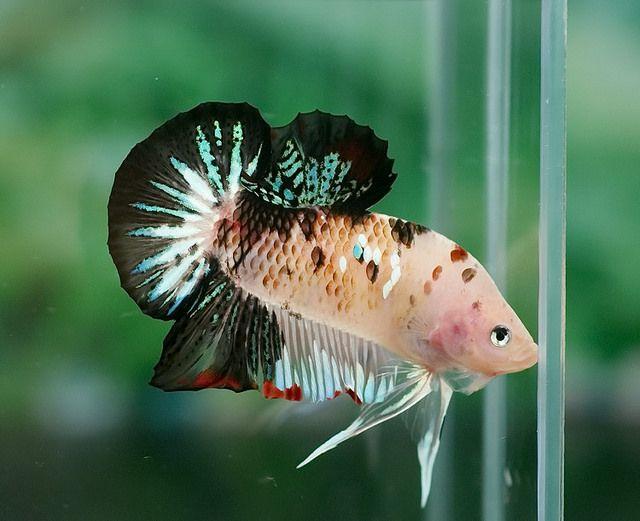 Koi halfmoon plakat fancy bettas pinterest koi for Male koi fish