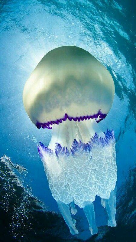 Laaguamala,aguamaroacalefo azul(Rhizostoma pulmo) es una especie de cnidarioescifozooode lafamilia Rhizostomatidae. Vive en el nivelpelágicode las capas marinas.  Su distribución se concentra desde el norte deEuropahasta elMar Mediterráneo. Es una especie generalizada en el este delAtlántico, elMar Mediterráneo(en particular durante el final del verano y principios del otoño) y elMar Negro. (M.M)