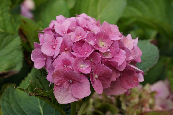 Hortensien rosa