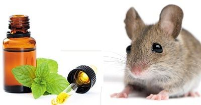 Using Peppermint oil for Mice and ants Control | Sweet Additions