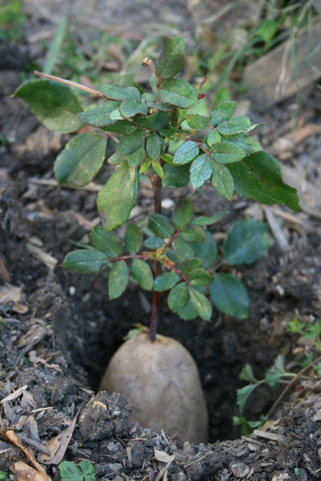 Propagate roses by sticking rose cuttings in potatoes.