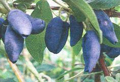 Как добиться хороших урожаев жимолости - Сады Сибири