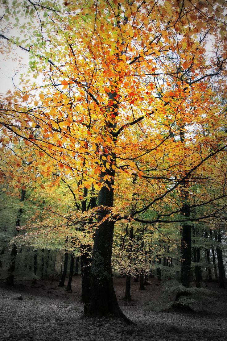 Tree at Söderåsens Nationalpark, October 2013, Sweden