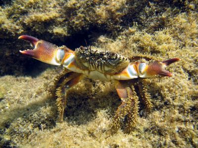 Dangerous Fish and Sea Animals: 5. Lobsters and Crabs - Not Dangerous
