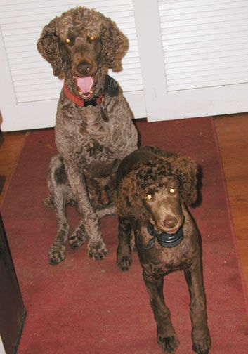 Royal Standard Poodles puppies for sale, breeder south of Staples, MN, black, brown, red, apricot, cream non-shedding large pet, read books on standard poodles, great hunting breed.