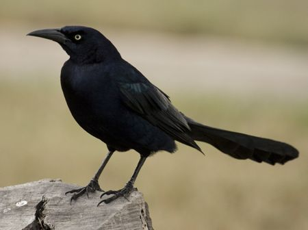 grackle - Google Search