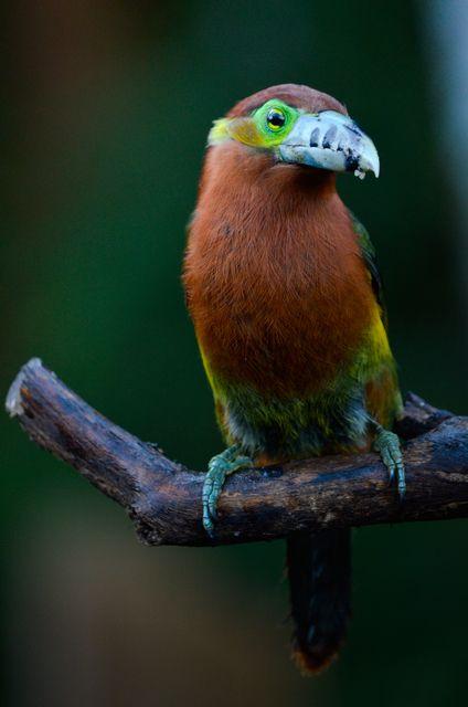 Foto araçari-poca (Selenidera maculirostris) por Rodrigo Hauser | Wiki Aves - A Enciclopédia das Aves do Brasil