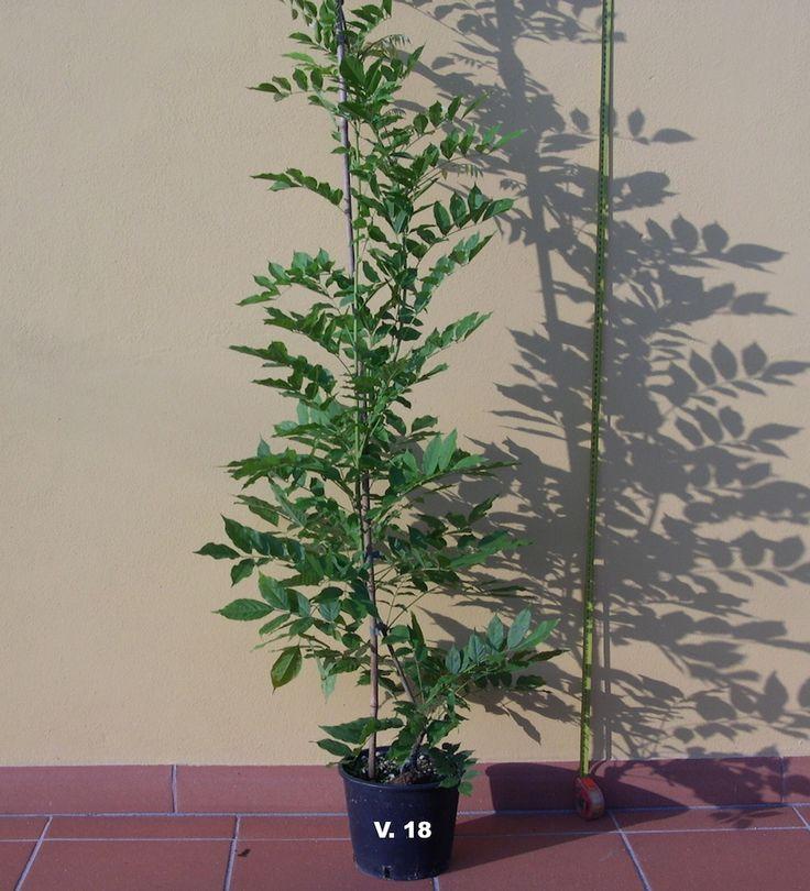 glicine-wisteria-prolific-viola