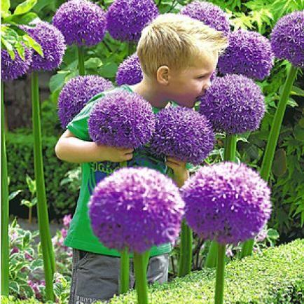 "Allium ""Globemaster"",1 Stück"