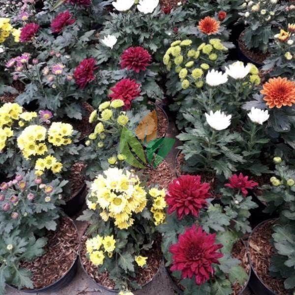 Aneka Bunga Krisan Banyak Warna Cantik Cantik Yuk Koleksi Sekarang Krisan Floris Melayani Eceran Grosir Dan Proyek Wa 6285730130718 Online 24