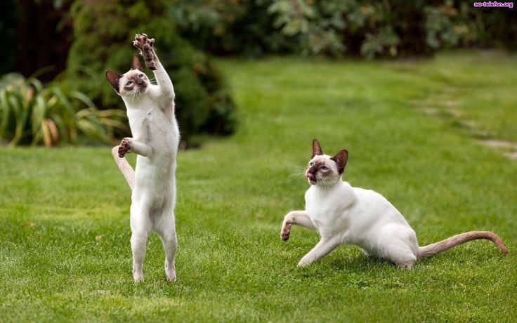 dwa-syjamskie-koty-trawnik-myszka.jpeg (1920×1200)