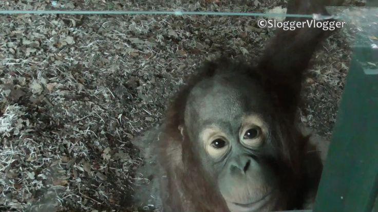 Breakdancing Baby Orangutan