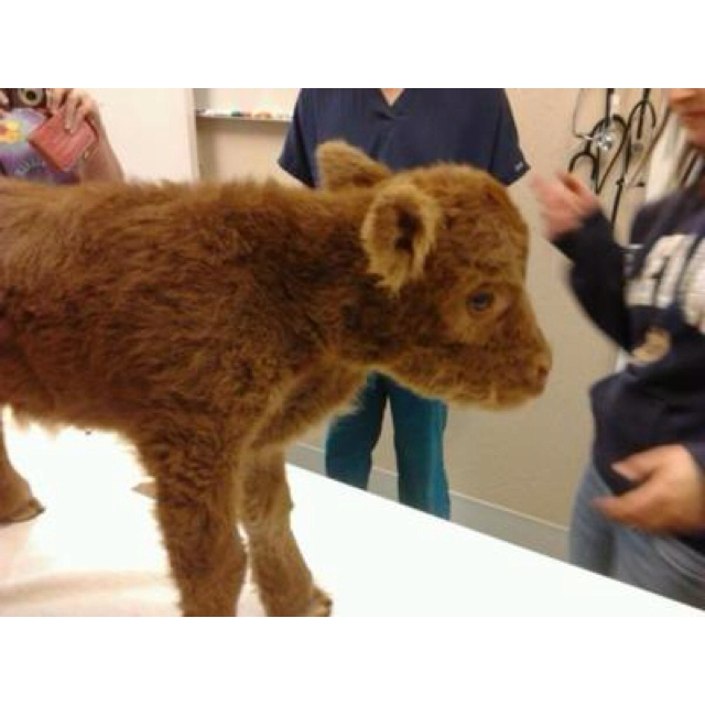 Brown baby cows - photo#2