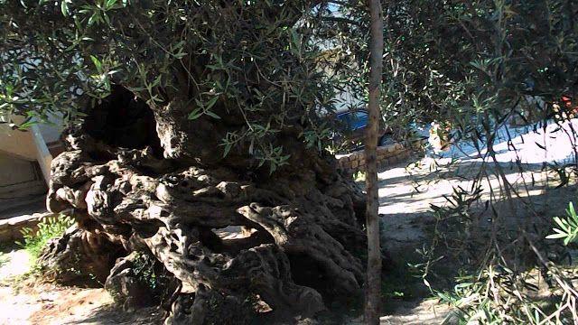 Η ελιά που στέκεται αγέρωχη 3.000 χρόνια στην Κρήτη