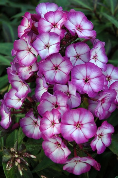 Phlox paniculata Sweet Summer Fantasy