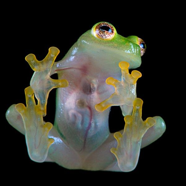 Northern Glassfrog - It sports excellent green camouflage for hiding in the rainforest of Central and South America. The most interesting thing abot these amphibians is that their bellys are transparent. If you look at the frogs underside you can see its lungs, intestines, and its beating heart.