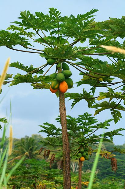 Carica papaya - Papaya......Sorry there even a few papayas that are too big for The Twister Fruit Picker®.
