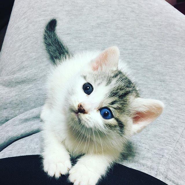 エマ大好きだし、怒った事もないけどソファーへの粗相治らないよ😭トイレに入れたら出来るのに自らトイレ入らなくてソファーでおしっこ💦💦ノイローゼなりそうだよー、、 先輩にゃんこママアドバイス下さい😭鳴いて可哀想だけど、ゲージでお留守だなぁ、、 #愛猫 #オッドアイ #トイレトレーニング #うまくいかない #仔猫 #ねこすたぐらむ