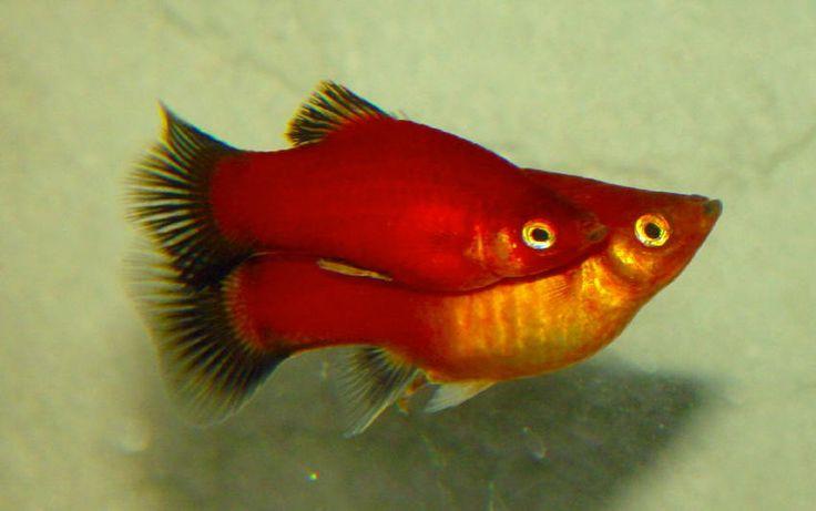 Coppia di Platy Xiphophorus maculatus - Foto di Hippocampus-bildarchiv.de