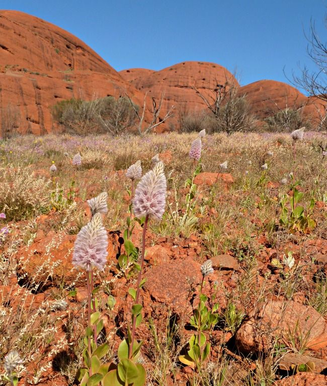 Wild flowers at Kata Tjtuta in Australia's Red centre