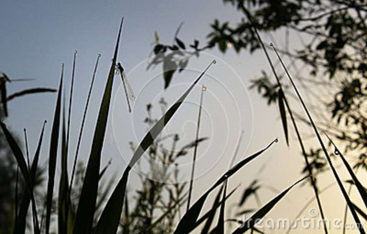 This photo about the morning dew and the little dragonfly was taken in Danube Delta the Danube Delta is the second largest river delta in Europe.