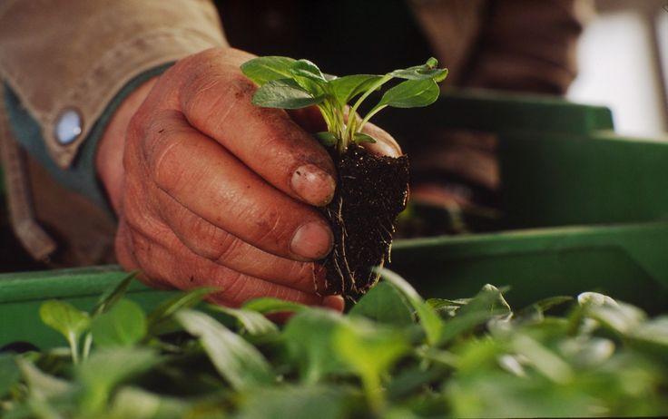 Τα πρώτα άνθη θα εμφανιστούν τον Σεπτέμβριο, αλλά η συγκομιδή και η επεξεργασία των φρέσκων φυτών εχινάκιας θα πραγματοποιηθούν το 2017.  Διαβάστε περισσότερα στο παρακάτω link:  http://www.avogel.gr/blog/echinaplant/