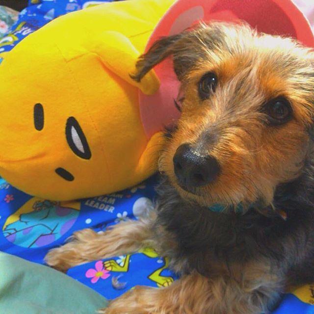 ぐてたまとむさし😁 #ミニチュアダックスフンド#ヨークシャテリア#ミックス#愛犬#可愛い#ラブ#ぐでたま #miniaturedachshund#YorkshireTerrier#mix#dog#cute#love#Instagood#gudetama