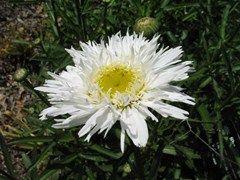 Leucanthemum × superbum 'Aglaia'  - Plant Finder