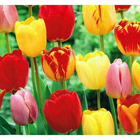 Shop By Brand Tulip Bulbs Growing Tulips Perennial Bulbs