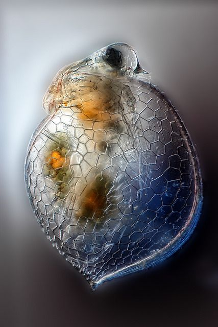 the anatomy of ceriodaphnia Ebscohost serves thousands of libraries with premium essays, articles and other content including the interim safety board get access to over 12 million other articles.