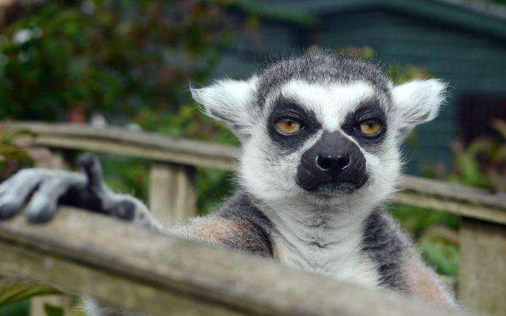 Животные в фотографиях (с изображениями)   Лемур, Животные ...