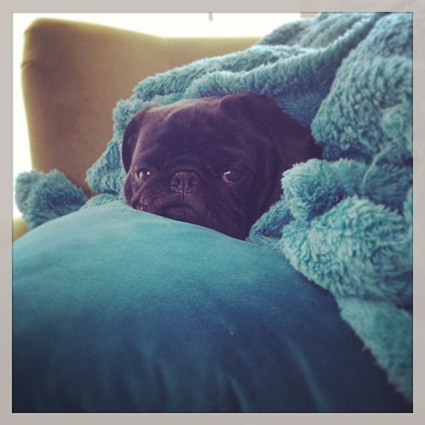 145 best pugs images on pinterest fluffy pets baby pugs and snug as a pug in a rug thecheapjerseys Gallery