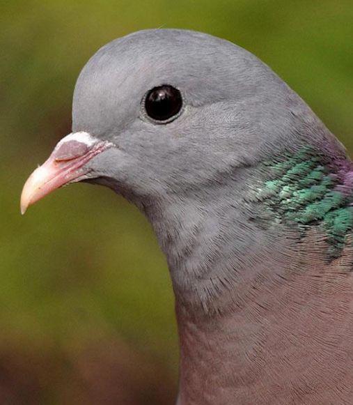 Stock Dove (Columba oenas).