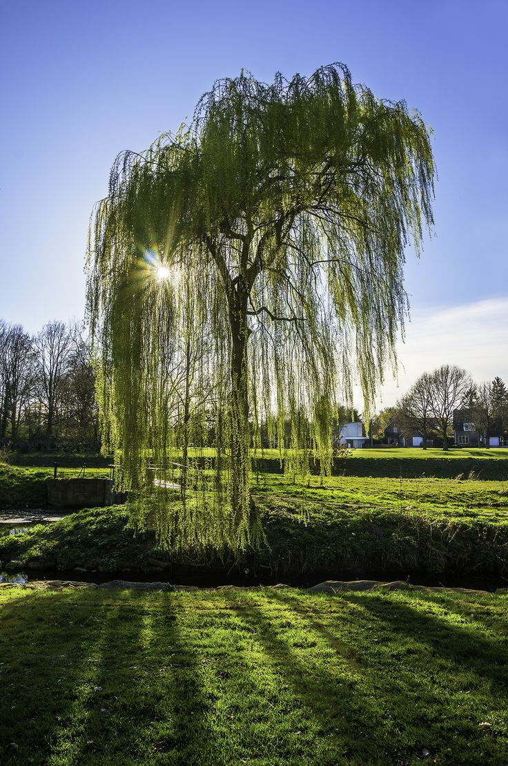 19 best Trees images on Pinterest | Plants, Weeping willow and ...