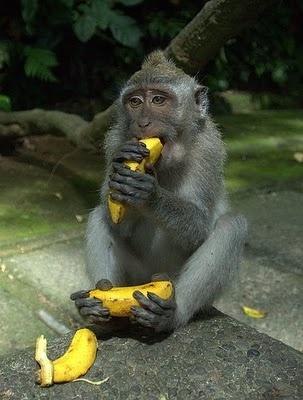 Monkey making sure it gets its fill of bananas, Bali