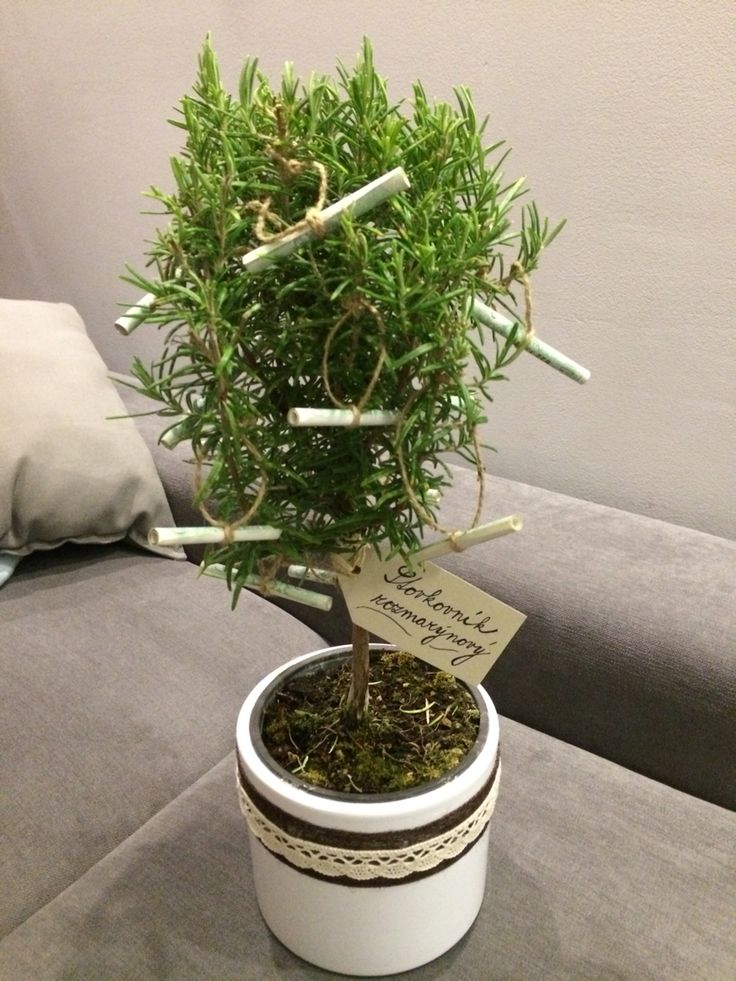 Stovkovník rozmarýnový Wedding gift - rosemary with money