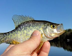 Crappie Fishing - important Secrets, Tips & Tricks, Crappie Tackle & Lures
