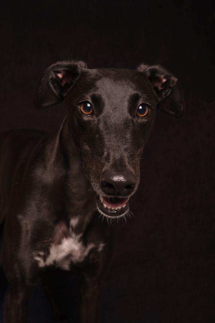 Beautiful Bindi the Greyhound