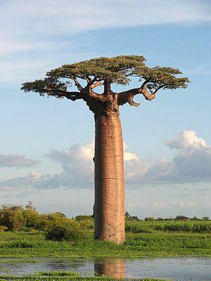 https://en.wikipedia.org/wiki/Adansonia