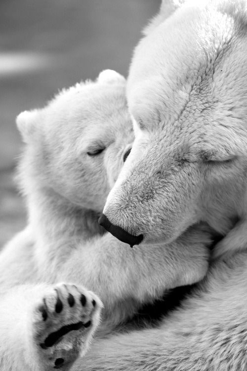 Polar bears are marine mammals, and spend much of their time on Arctic sea ice. Many adaptations make polar bears uniquely suited to life in icy habitats. Their fur is thicker than any other bears' and covers even their feet for warmth and traction on ice. A thick layer of blubber beneath their fur provides buoyancy and insulation.