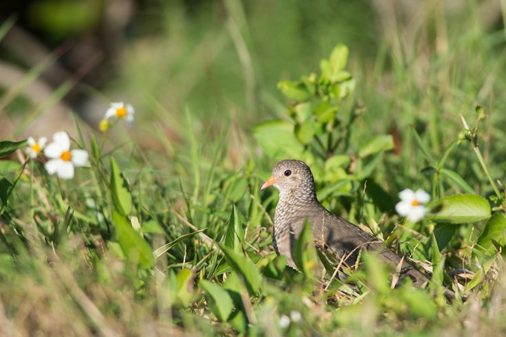 Photograph Common Ground Dove by Ray Hennessy on 500px