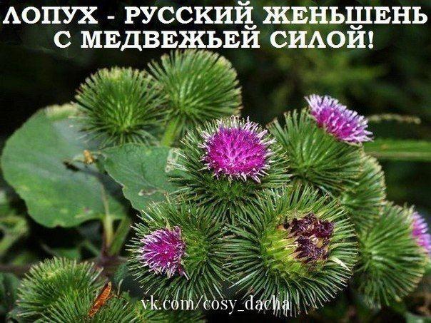 ЛОПУХ — РОССИЙСКИЙ ЖЕНЬШЕНЬ.   Дачники