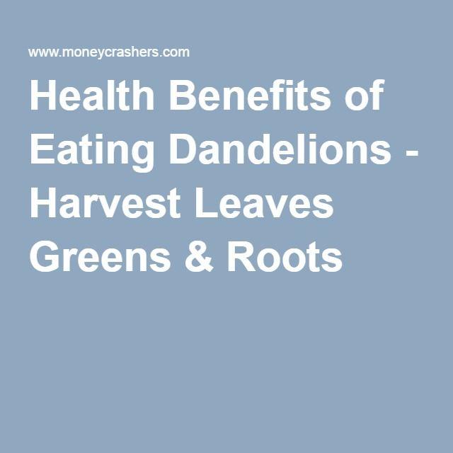 Health Benefits of Eating Dandelions - Harvest Leaves Greens & Roots