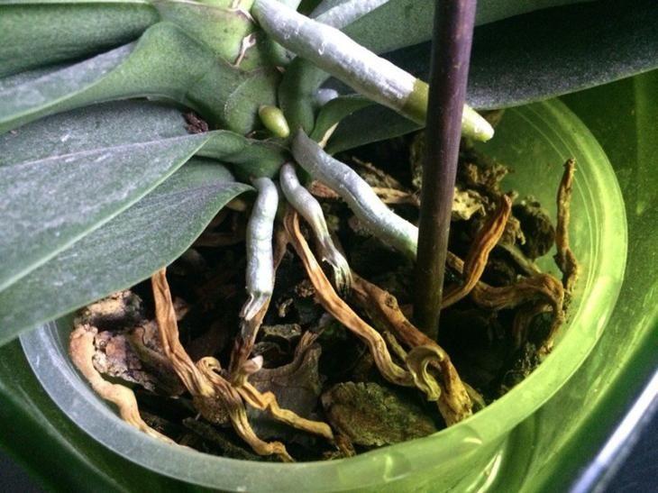 Корни орхидеи гниют и сохнут