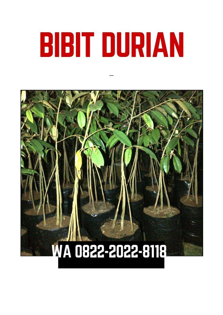 HP/WA*082220228118, jual bibit durian musang king di